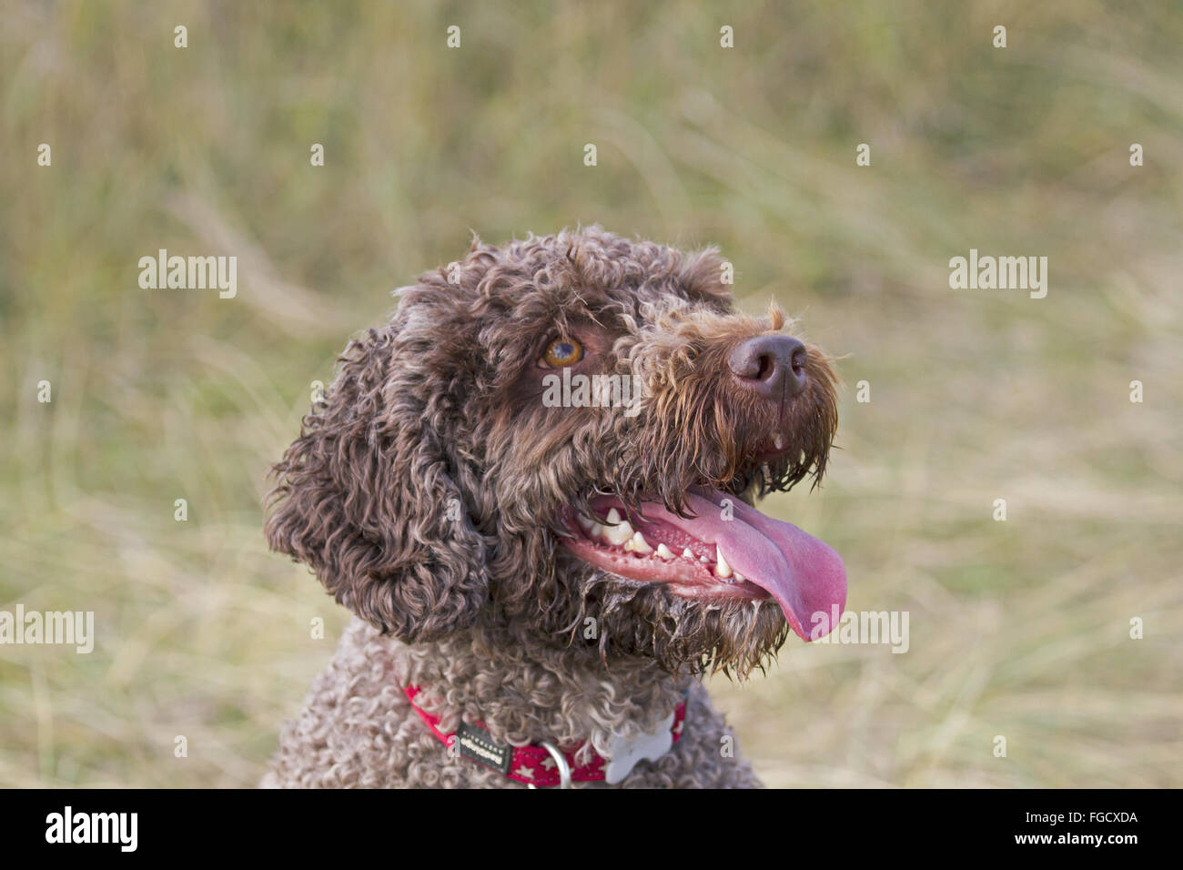 Domestic Dog, Perro de Agua Espanol, adult, close-up of head, panting, Norfolk, England, October - Stock Image