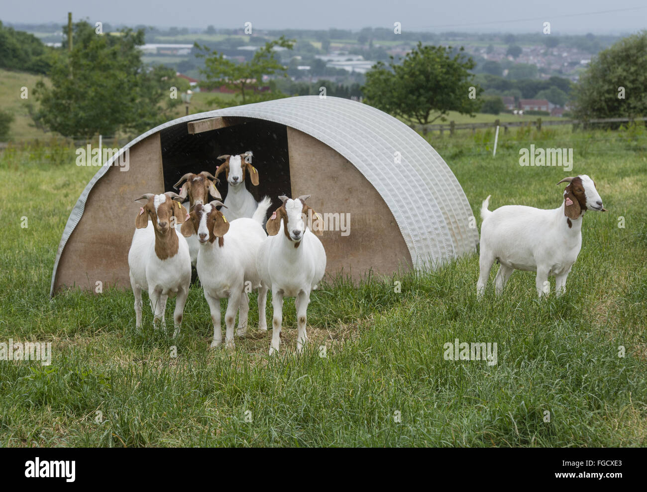 Commercial Goat Farming Stock Photos & Commercial Goat
