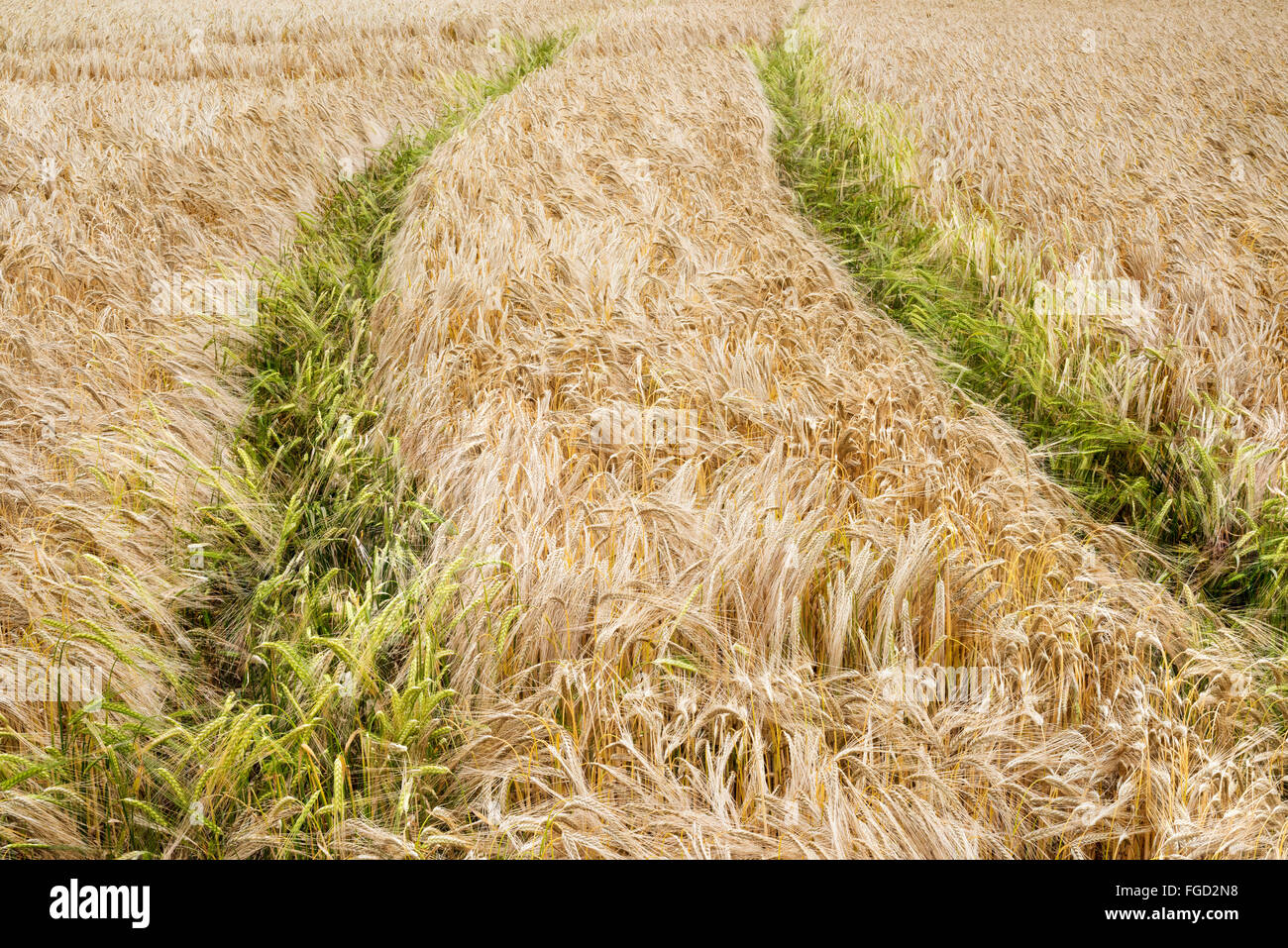 Tyre tracks in a Barley field in East Yorkshire. - Stock Image
