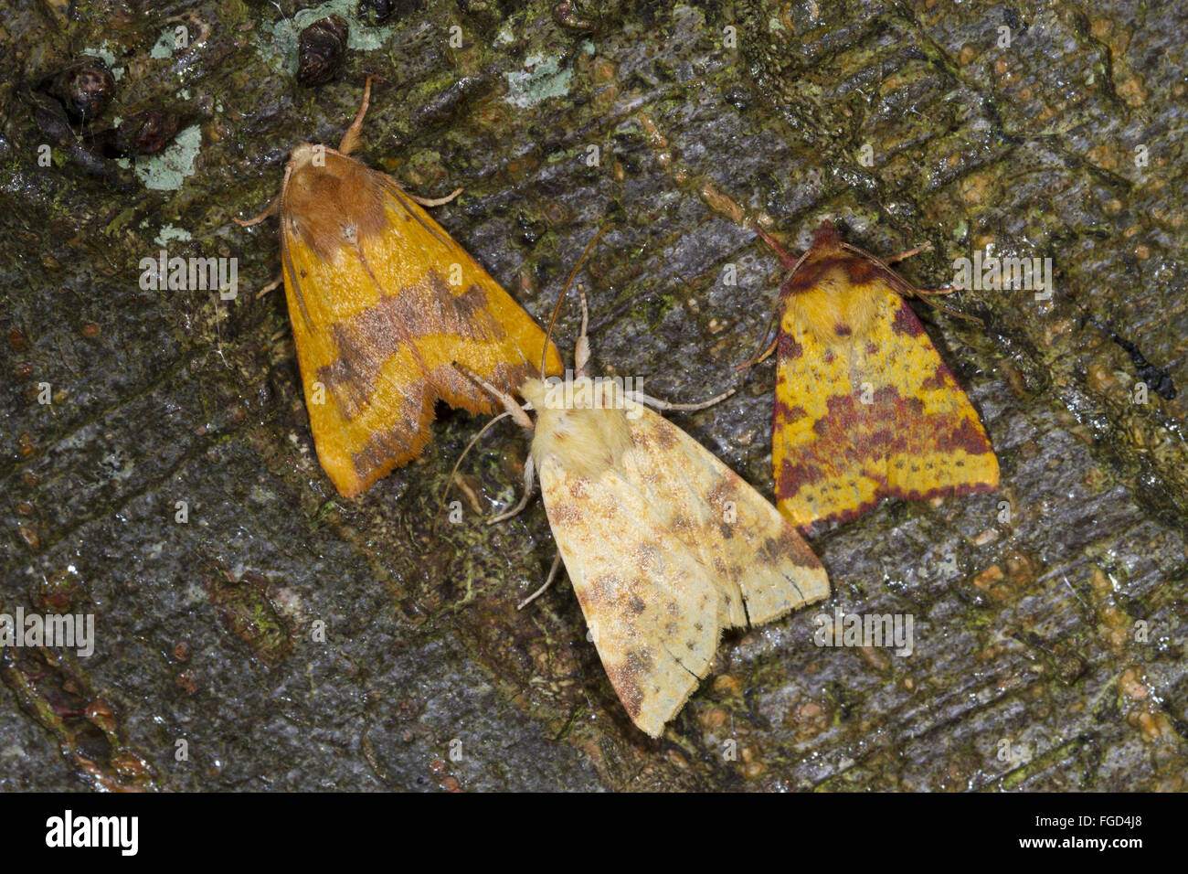 Centre-barred Sallow (Atethmia centrago) adult, The Sallow (Cirrhia icteritia) adult, and Pink-barred Sallow (Xanthia - Stock Image