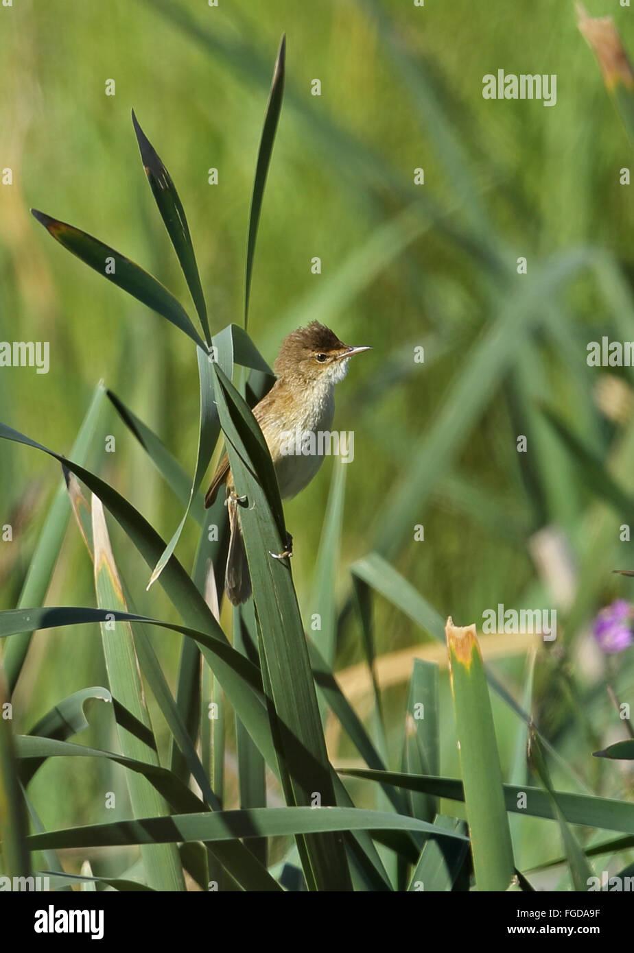 African Reed-warbler (Acrocephalus baeticatus baeticatus) adult, perched on leaf in marshland, Wakkerstroom, Mpumalanga, Stock Photo