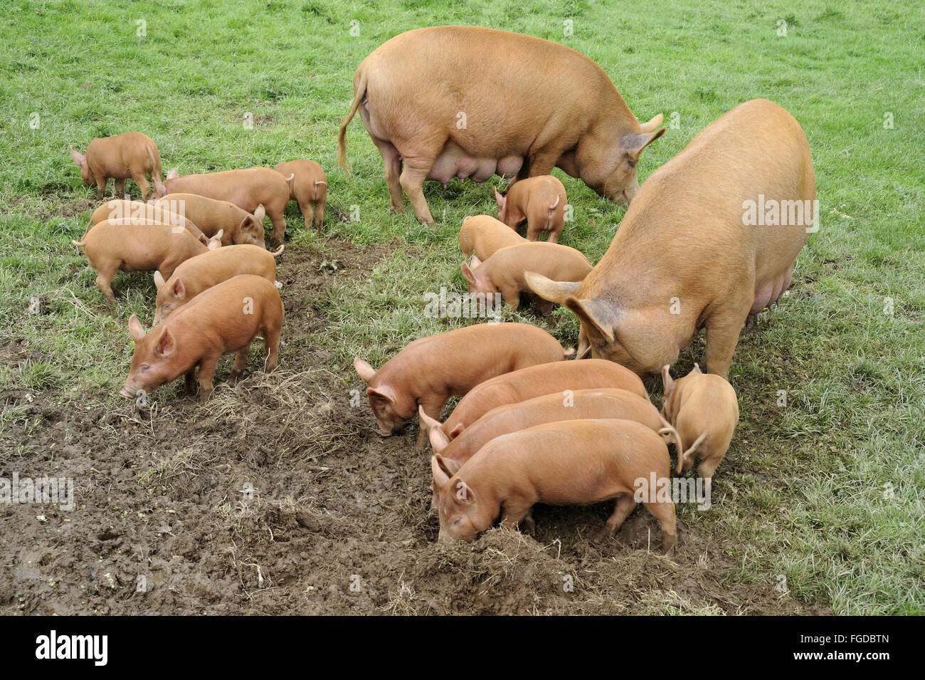 Domestic Pig, Tamworth sows with sixteen piglets, feeding in field, Cornwall, England, August - Stock Image