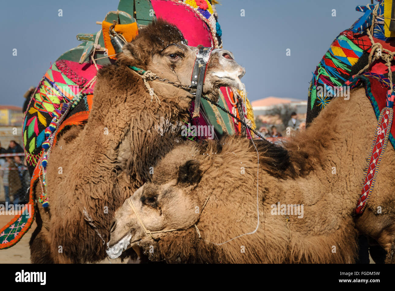 Two camels fighting during the Camel wrestling league in  Ayvalik. - Stock Image