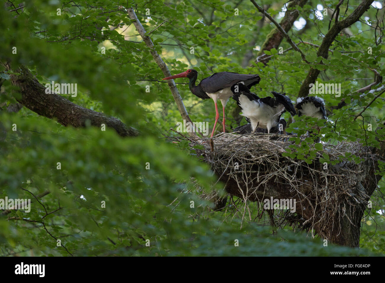 Black Stork / Schwarzstorch ( Ciconia nigra ), adult, feeding its offspring, huge nest high up in an old beech tree Stock Photo