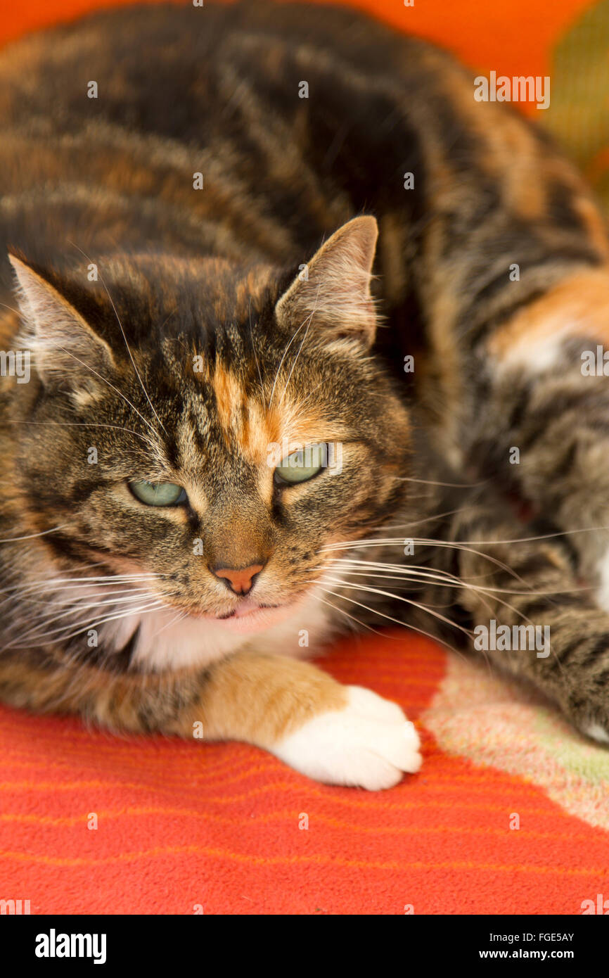 a-green-eyed-tortoiseshell-cat-looks-up-from-her-resting-place-on-FGE5AY.jpg