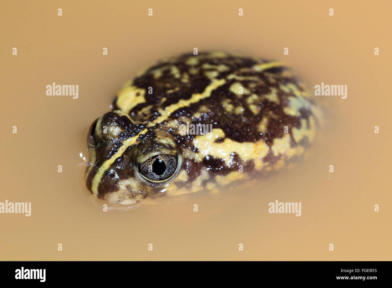 Sudell's Frog (Neobatrachus sudelli) in a puddle, Queensland, Australia Stock Photo
