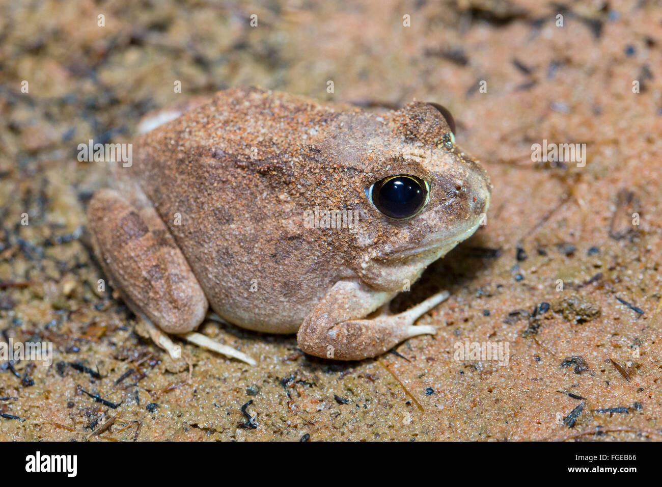 Ornate Burrowing Frog (Platyplectrum ornatum), Queensland, Australia - Stock Image