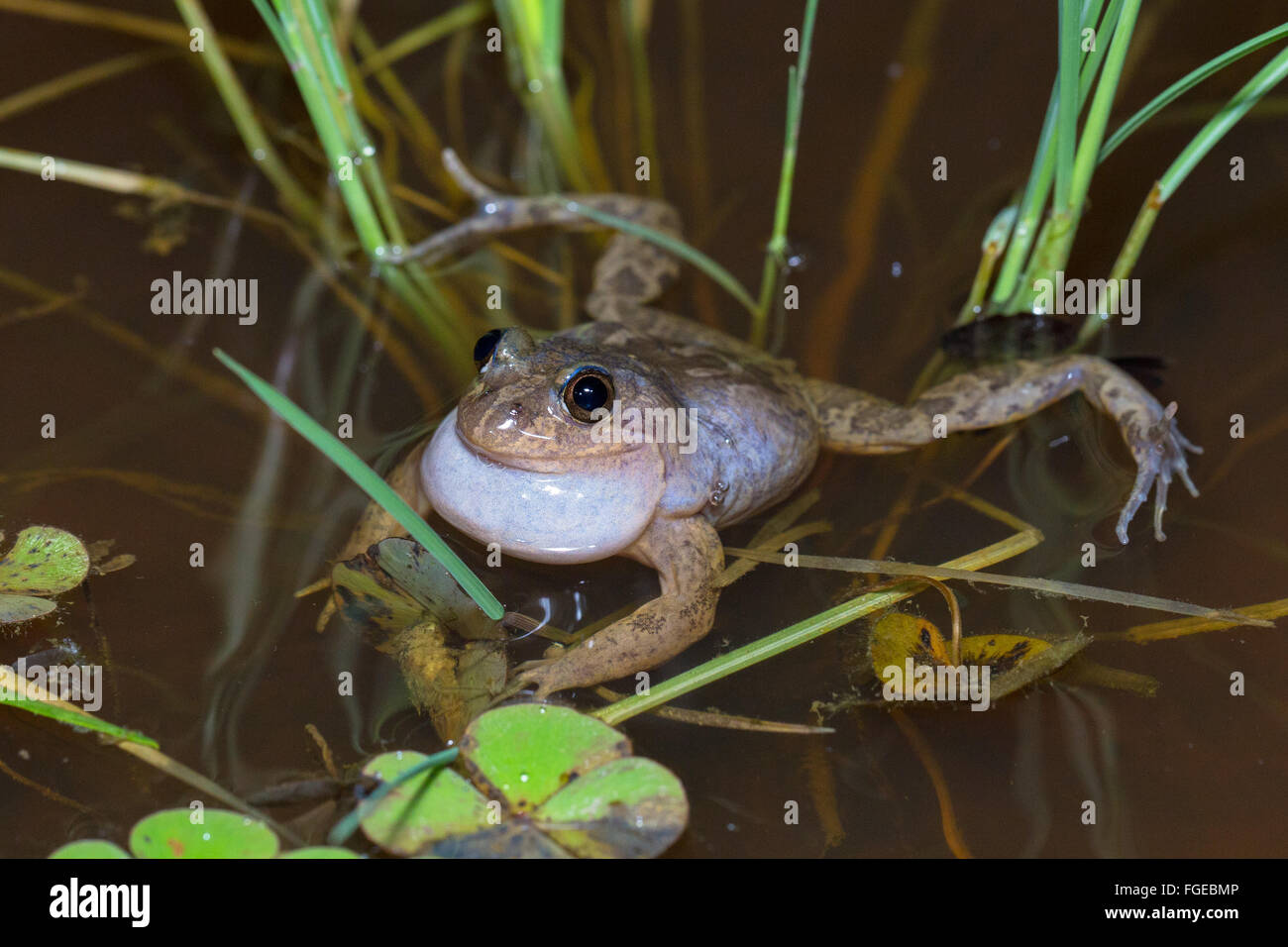 Barking Marsh Frog (Limnodynastes fletcheri) calling while floating in a puddle, Queensland, Australia - Stock Image
