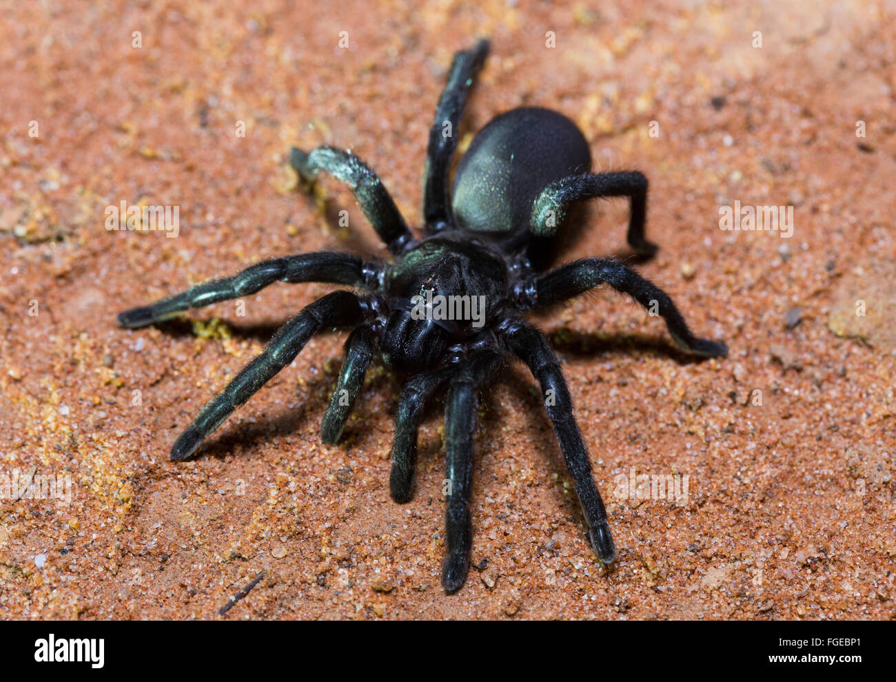 Brush-footed Trapdoor Spider (Barychelidae sp.), Cunnamulla, Queensland, Australia - Stock Image