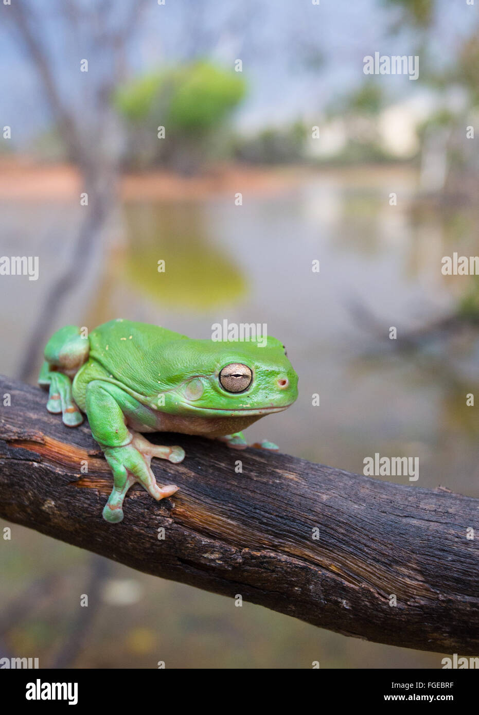 Australian Green Tree Frog (Litoria caerulea) on a branch, with a wetland in the background, Queensland, Australia - Stock Image