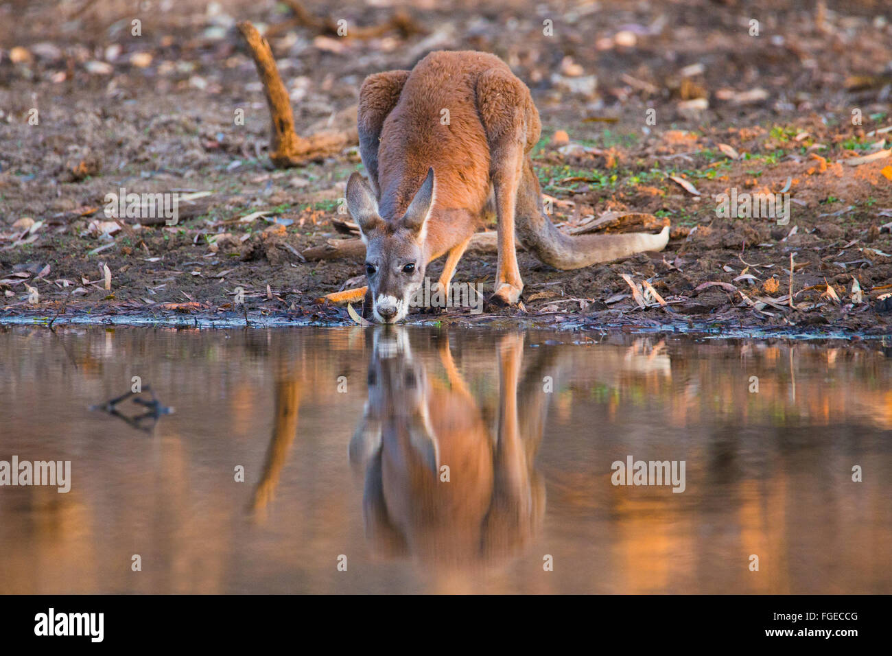 Young male Red Kangaroo (Macropus rufus) drinking from a billabong in in outback Queensland, Australia - Stock Image