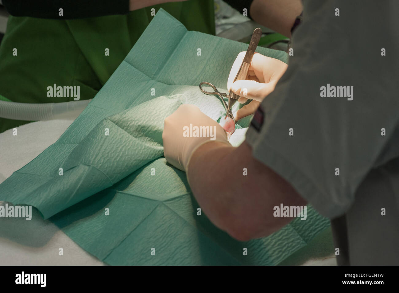 Rabbit undergoing Castration Surgery - Stock Image