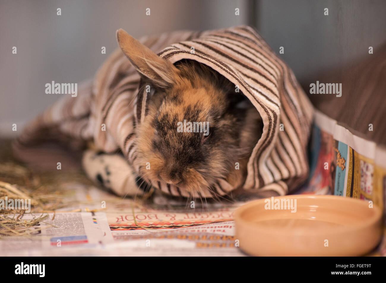 Rabbit Care post surgery - Stock Image