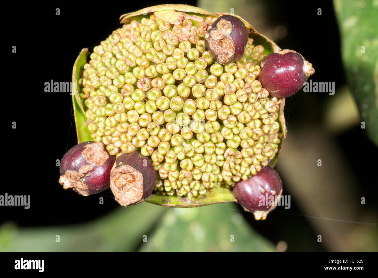 An unusual looking inflorescence of an understory shrub in the rainforest, Pastaza province, Ecuador. - Stock Image