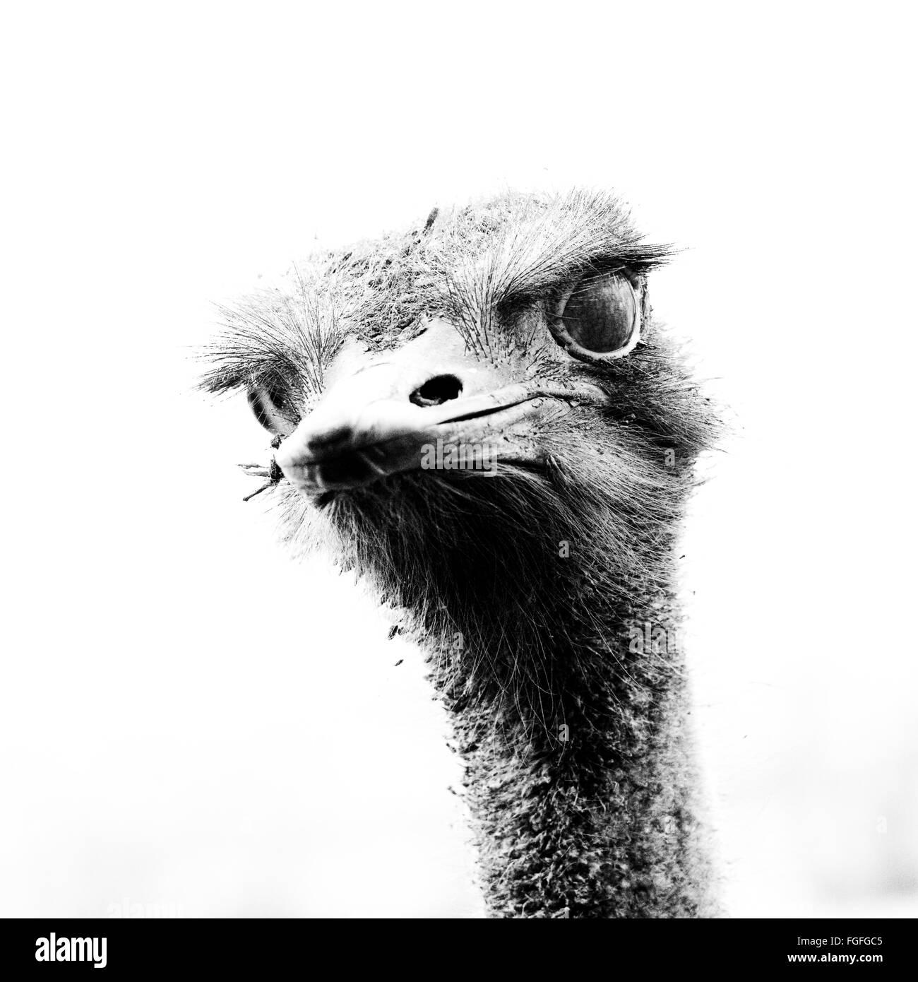 common ostrich head - Stock Image