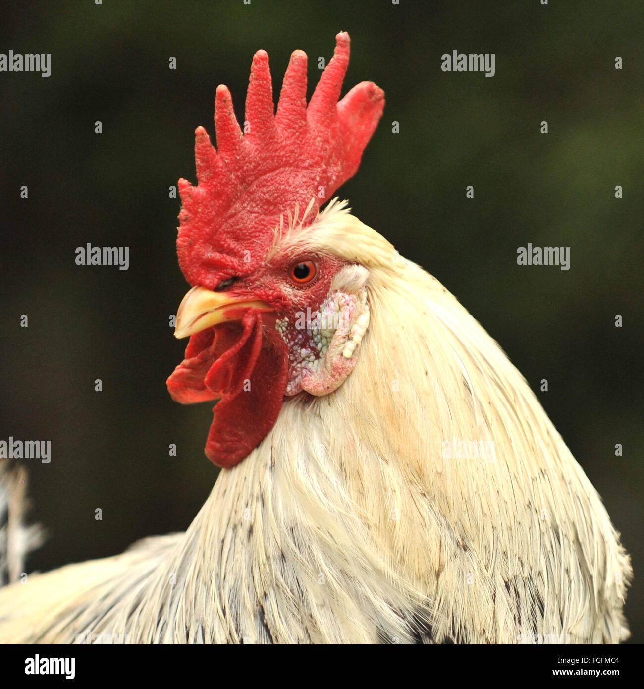 bantam cockerel rooster - Stock Image