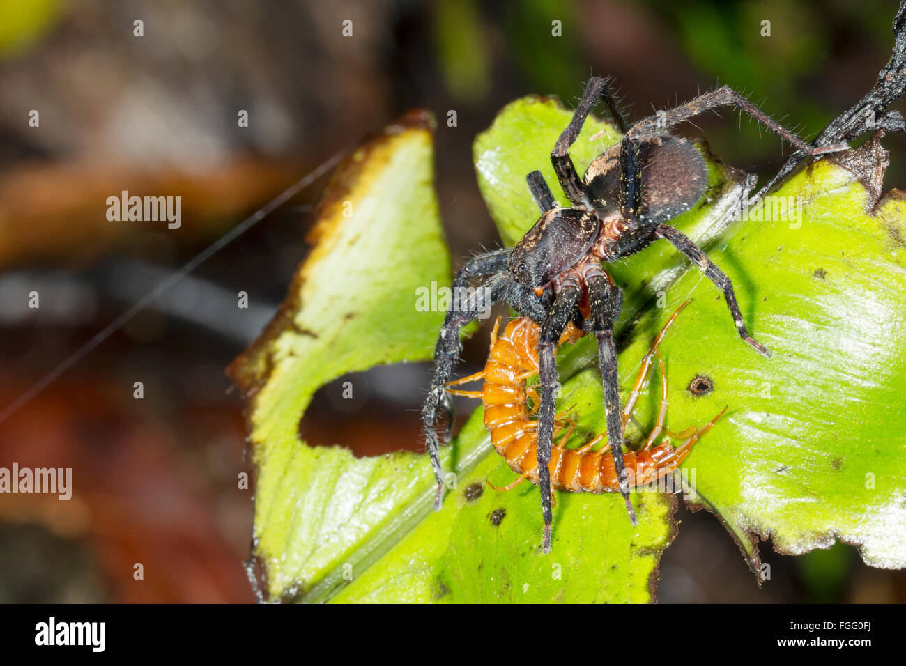 A large wandering spider (family Ctenidae) feeding on a centipede in the rainforest understory, Pastaza province, - Stock Image