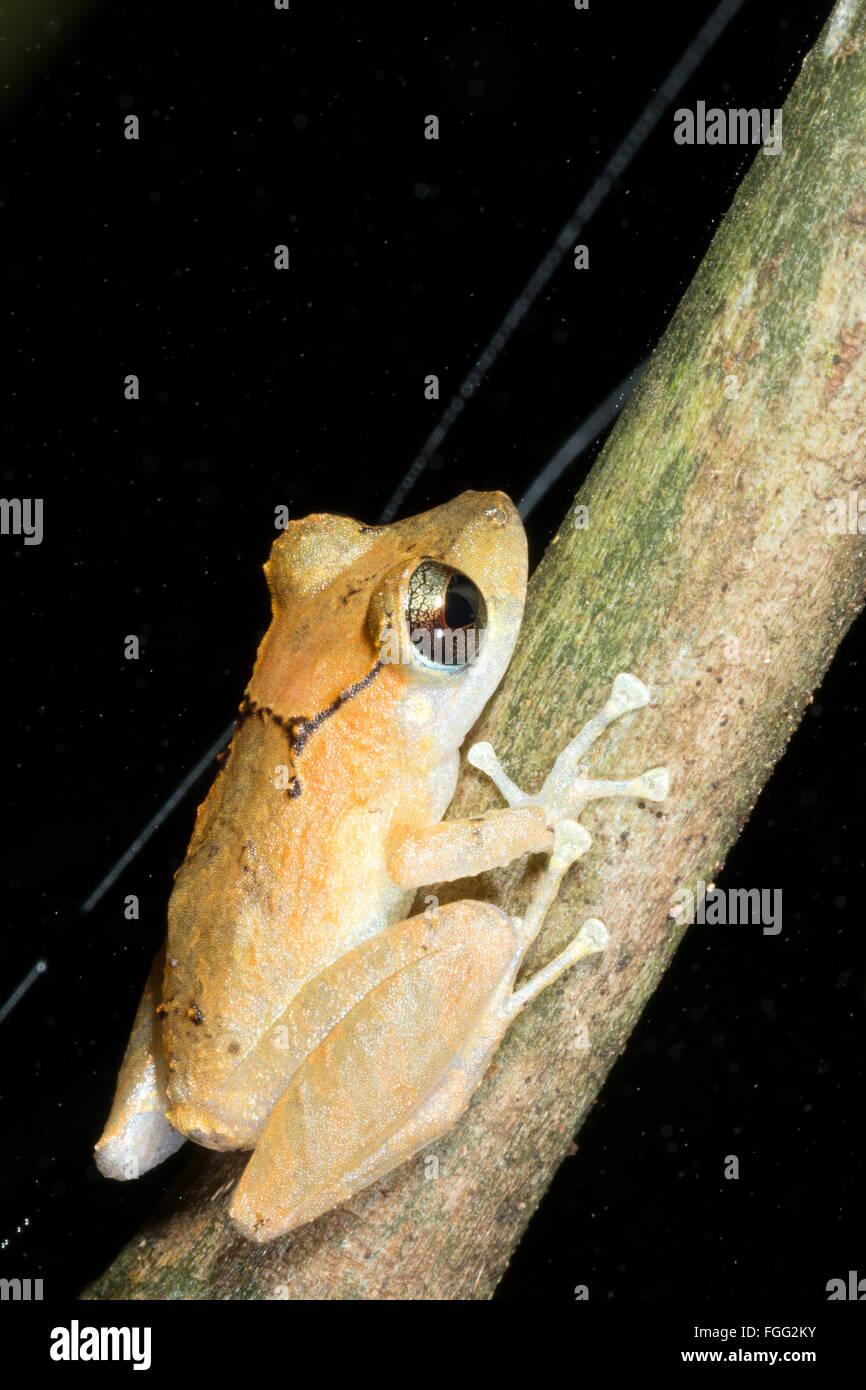 Kichwa Rain Frog (Pristimatis kichwarum) in the rainforest, Pastaza province, Ecuador - Stock Image