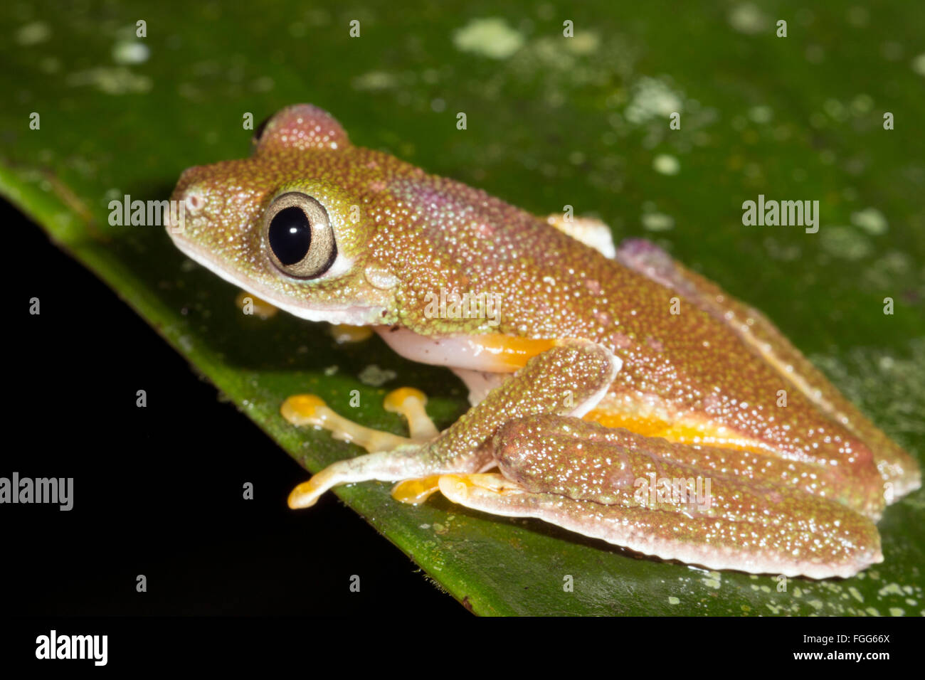 Amazon Leaf Frog (Agalychnis hulli) on a leaf in the rainforest, Pastaza province, Ecuador - Stock Image