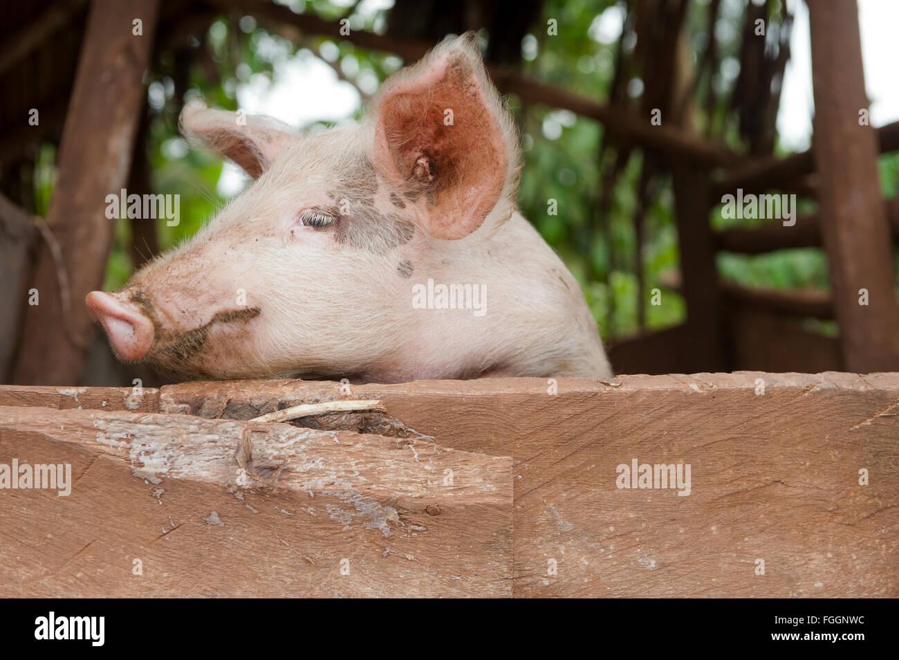 Pig looking over fence. Uganda. - Stock Image