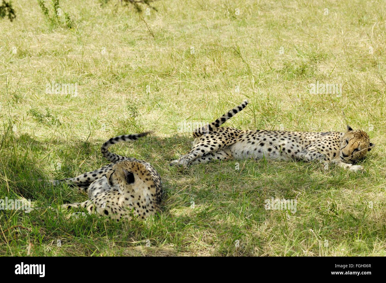 Cheetah in the Serengeti - Stock Image
