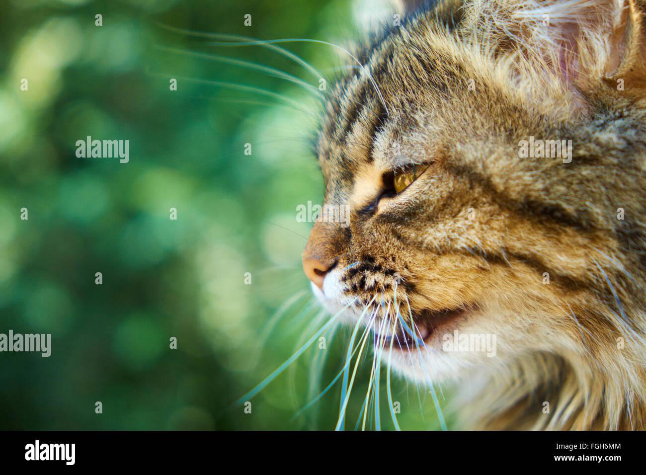 Yellow-brown cat roars, profile view - Stock Image
