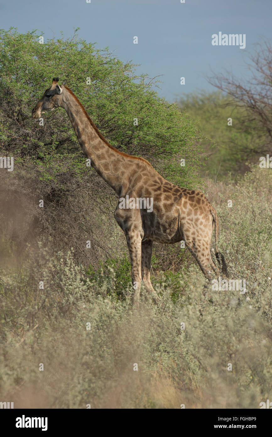 The giraffe is an African even-toed ungulate mammal, the tallest living terrestrial animal and the largest ruminant. - Stock Image