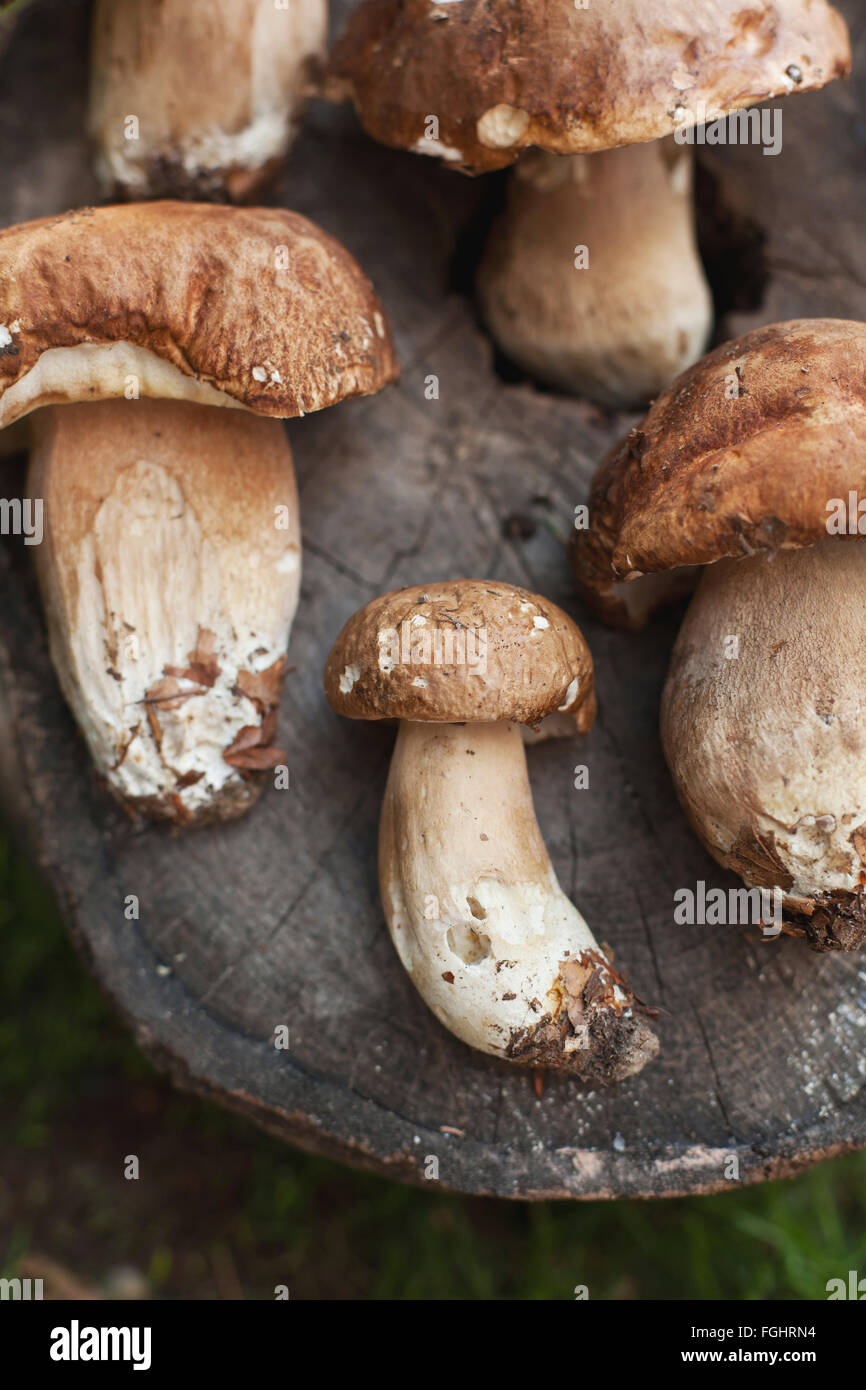 Fresh Porcini mushrooms on a tree trunk - Stock Image