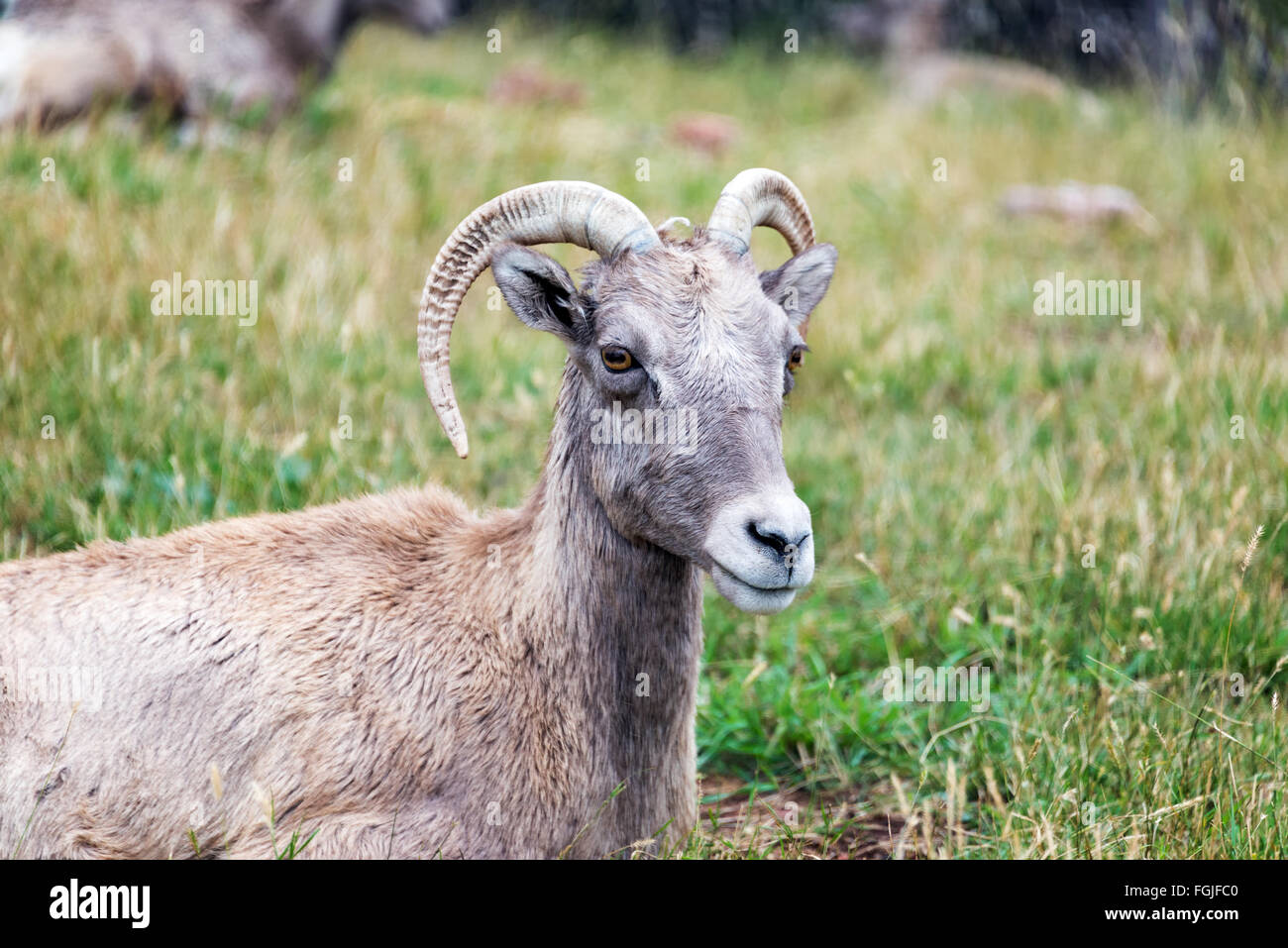 Closeup view of a female Bighorn Sheep, known as an Ewe - Stock Image