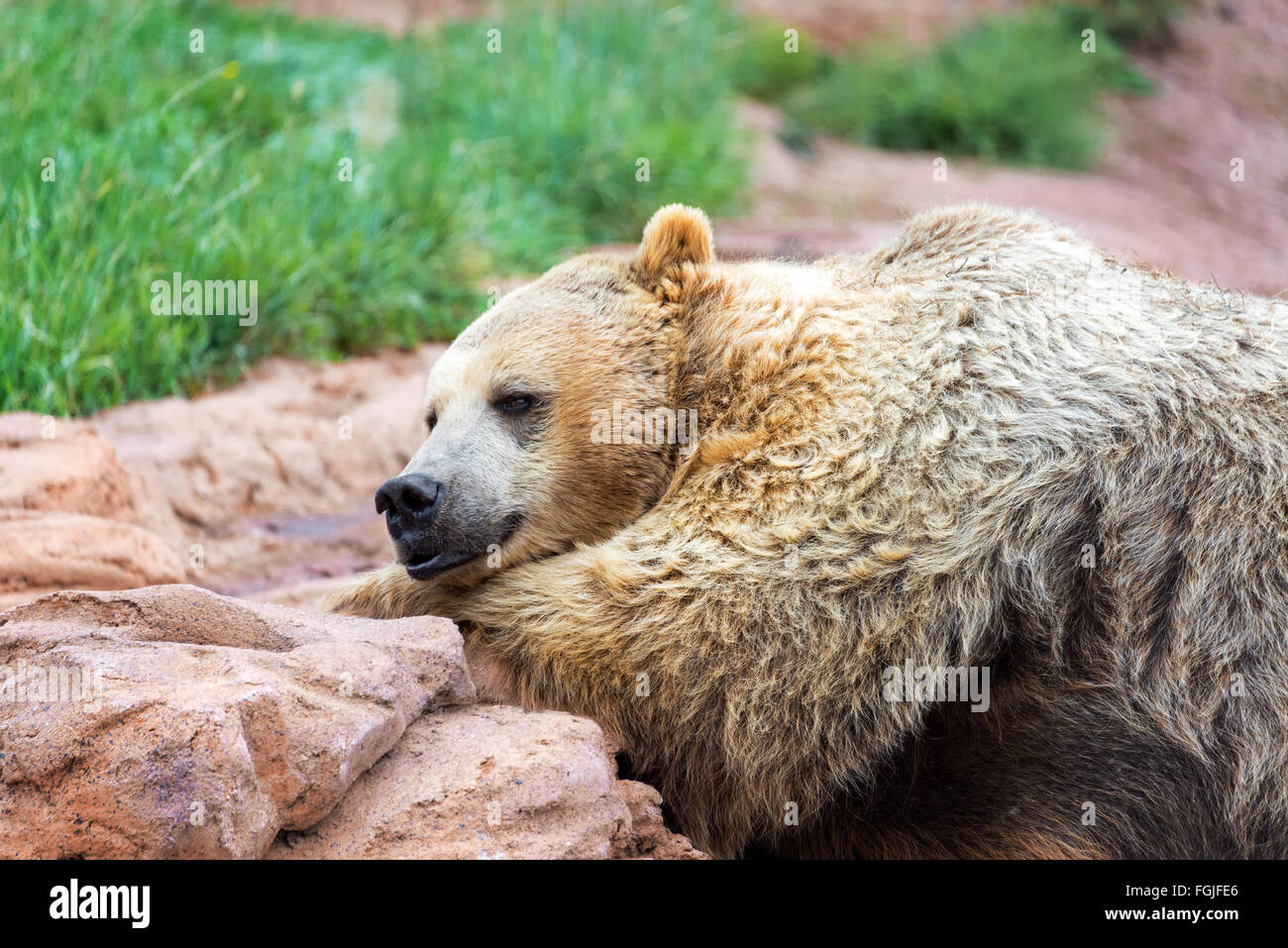 Closeup view of a grizzly bear lying down - Stock Image