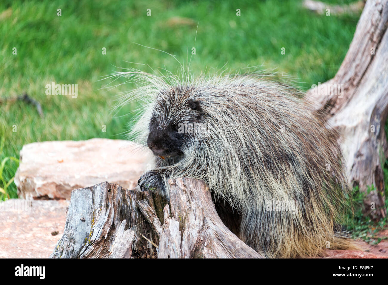 Closeup view of a porcupine - Stock Image