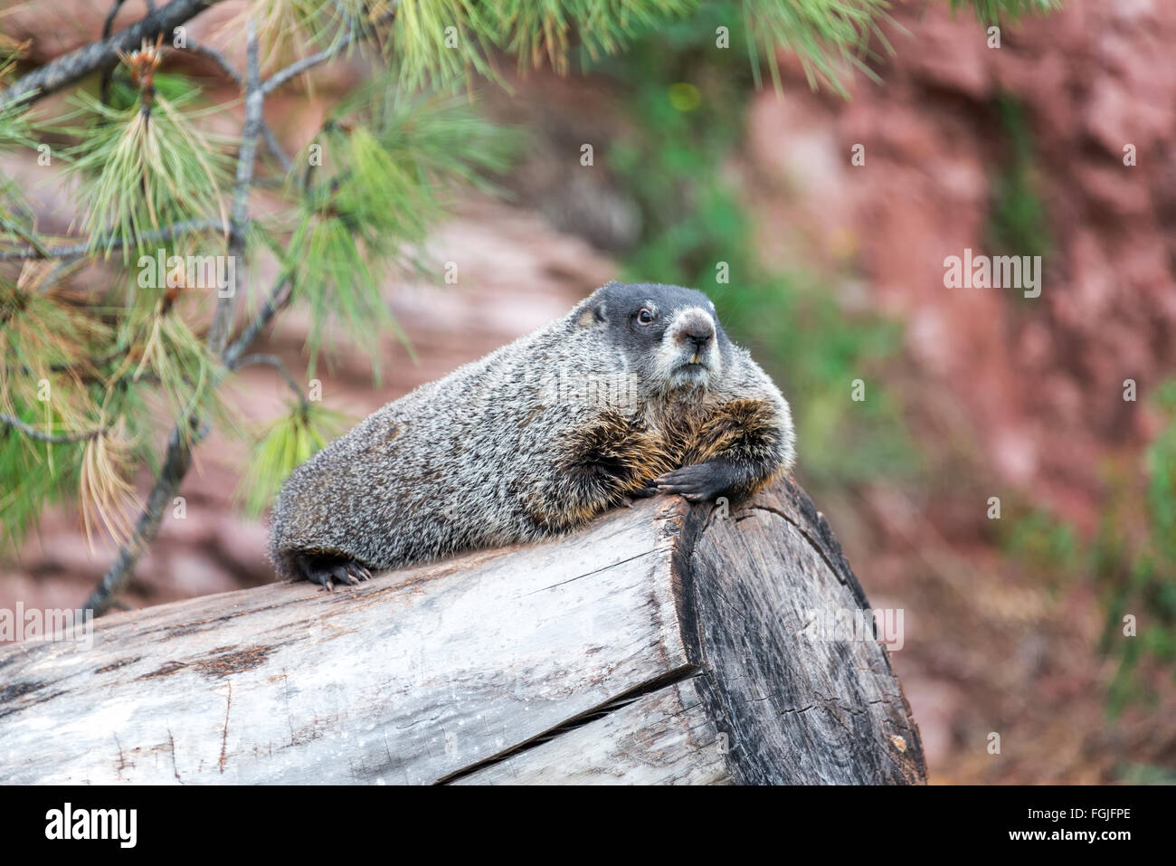 View of a groundhog relaxing on a log - Stock Image