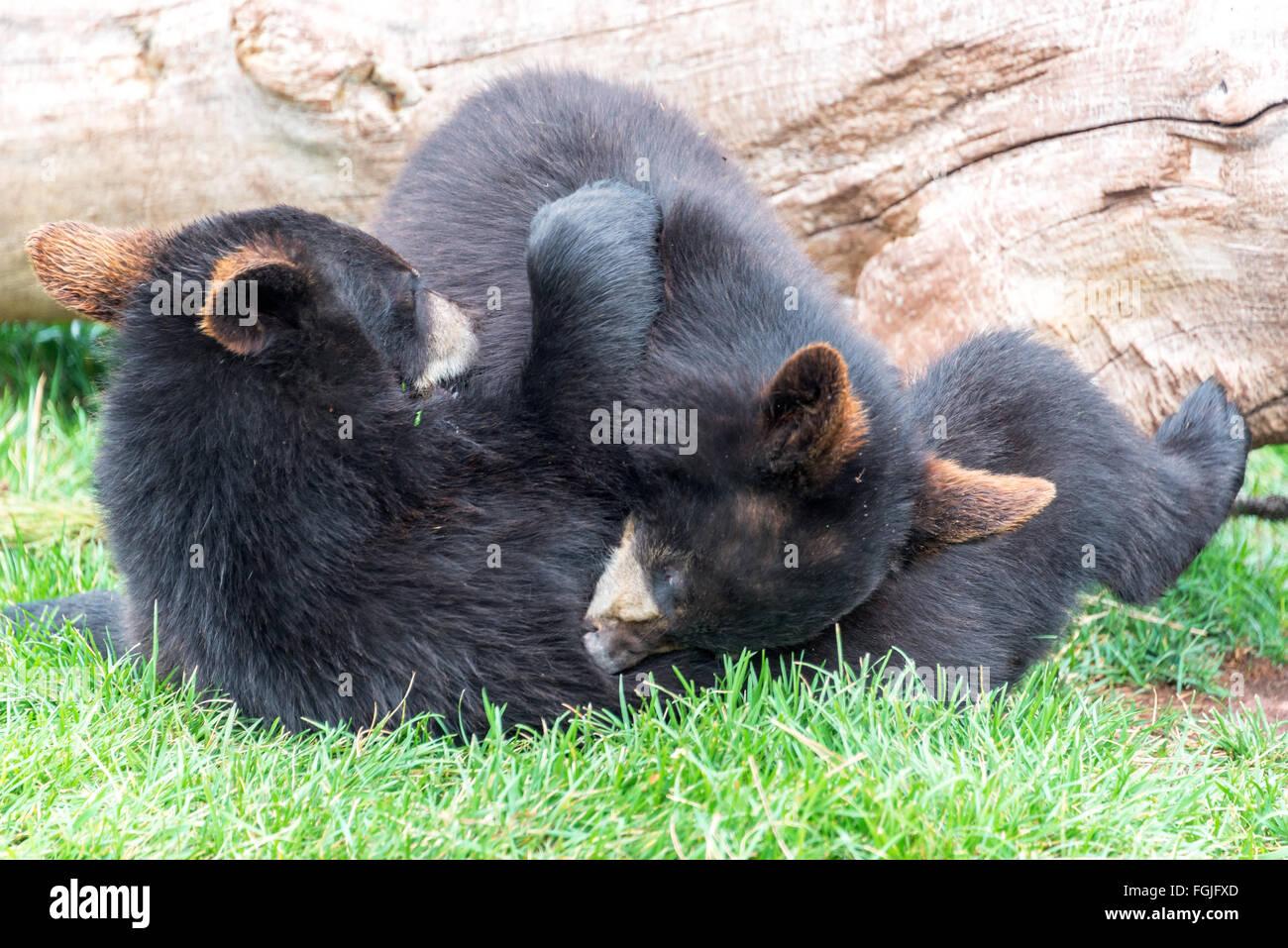 Playful black bear cubs - Stock Image