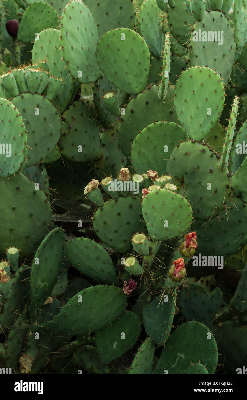 Opuntia, prickly pear, cacti having spiny flat joints and fruit that is edible, in some species often used as food - Stock Image