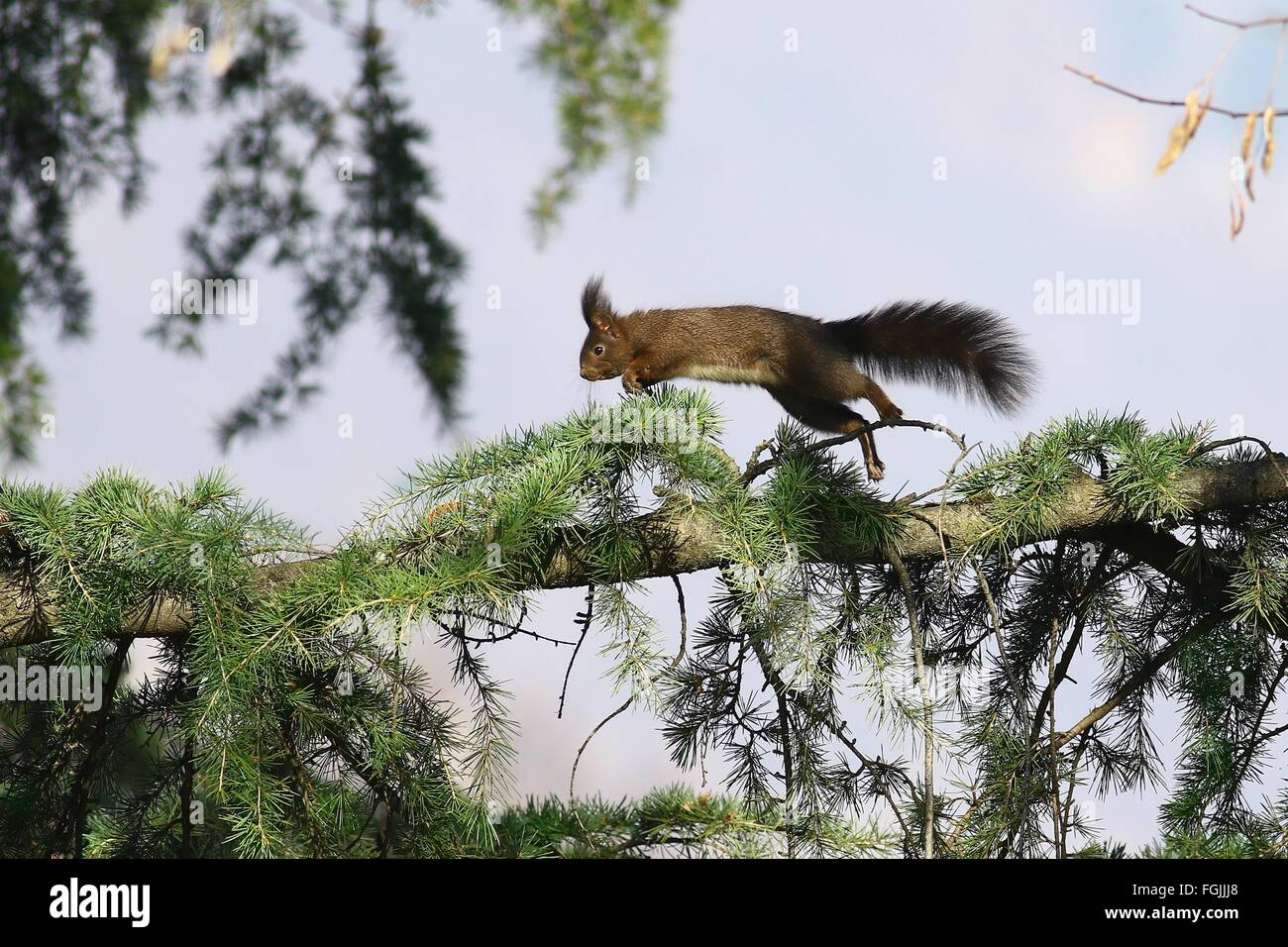 Squirrel running and jumping on a pine tree branch - Stock Image