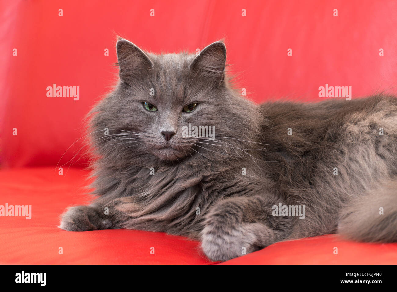 Norwegian Forest Cat Lying On Red Sofa Blue Cat Purebred Cat Stock Photo Alamy