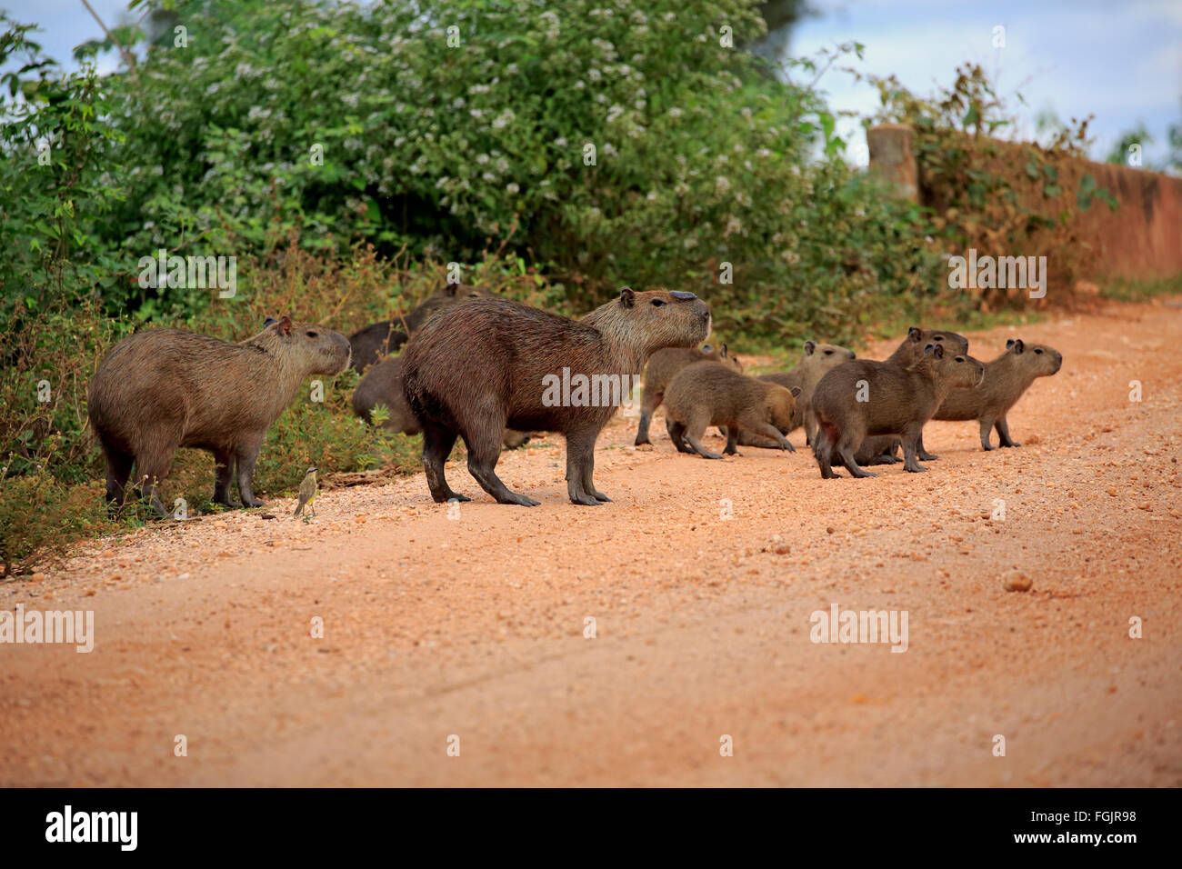 Capybara, family with youngs on shore, Pantanal, Mato Grosso, Brazil, South America / (Hydrochoerus hydrochaeris) Stock Photo