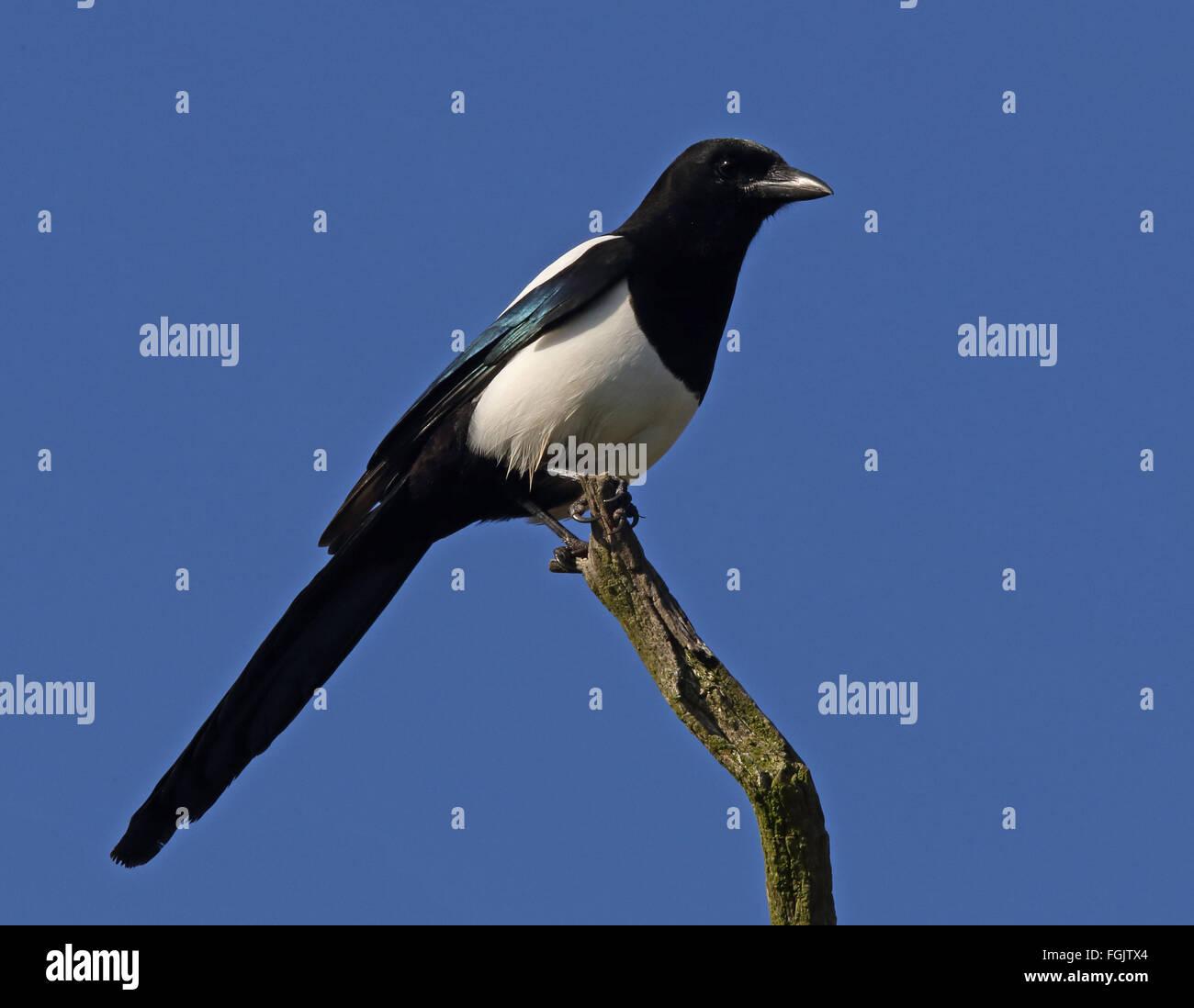 Eurasian Common Magpie Pica pica - Stock Image