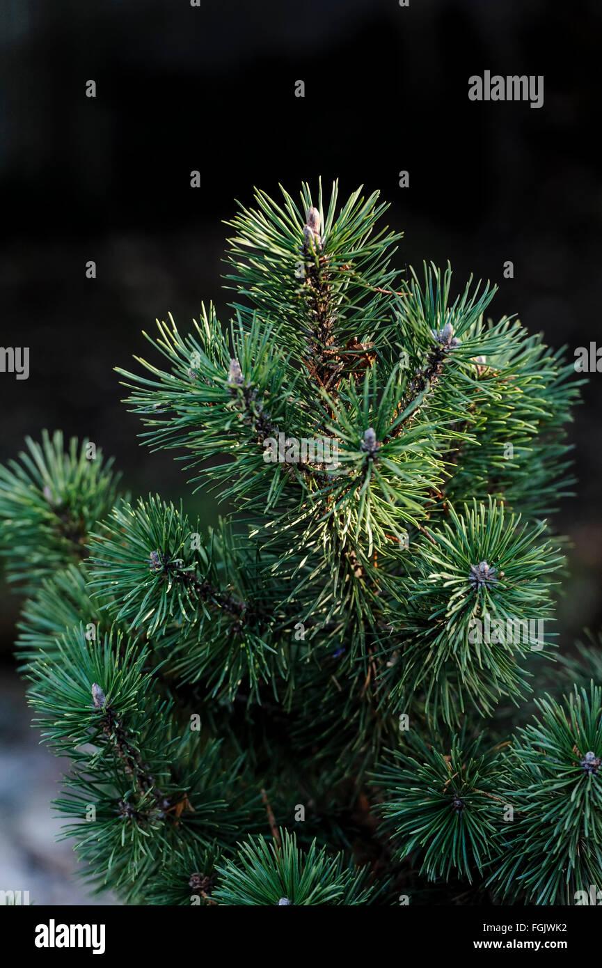 Pinus Mugo Mops Pinaceae - Stock Image