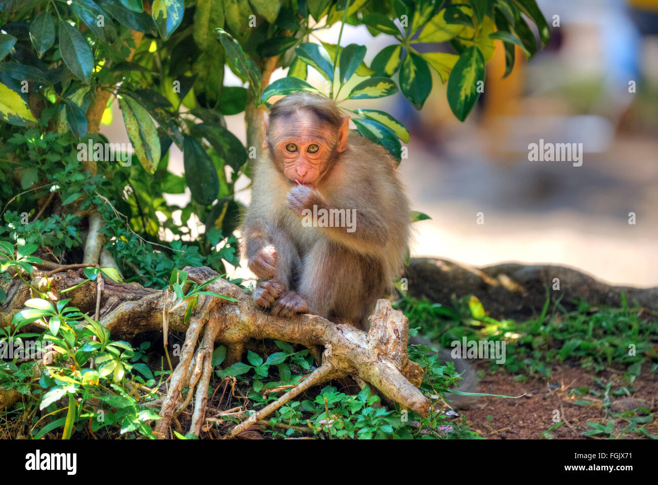 Monkey in the Periyar National Park, Thekkady, Kerala, India - Stock Image