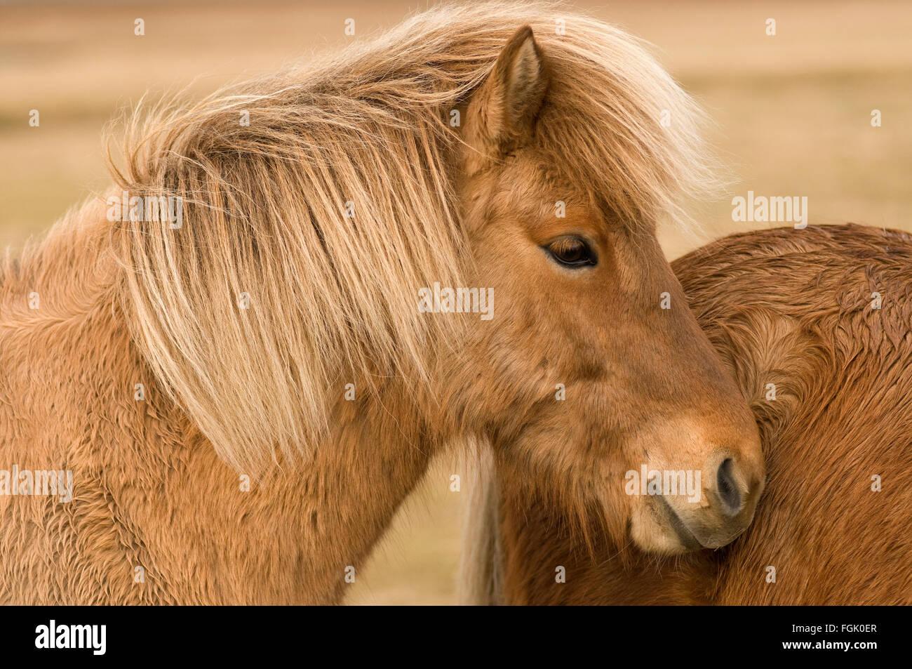 Portrait of an Icelandic horse - Stock Image
