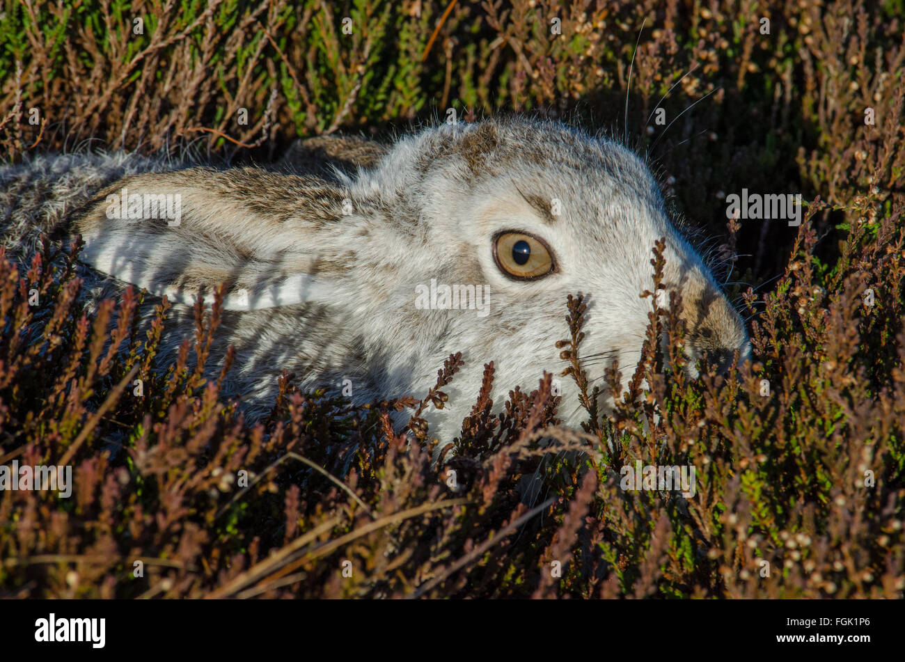 Mountain Hare Lepus timidus crouching in heather - Stock Image
