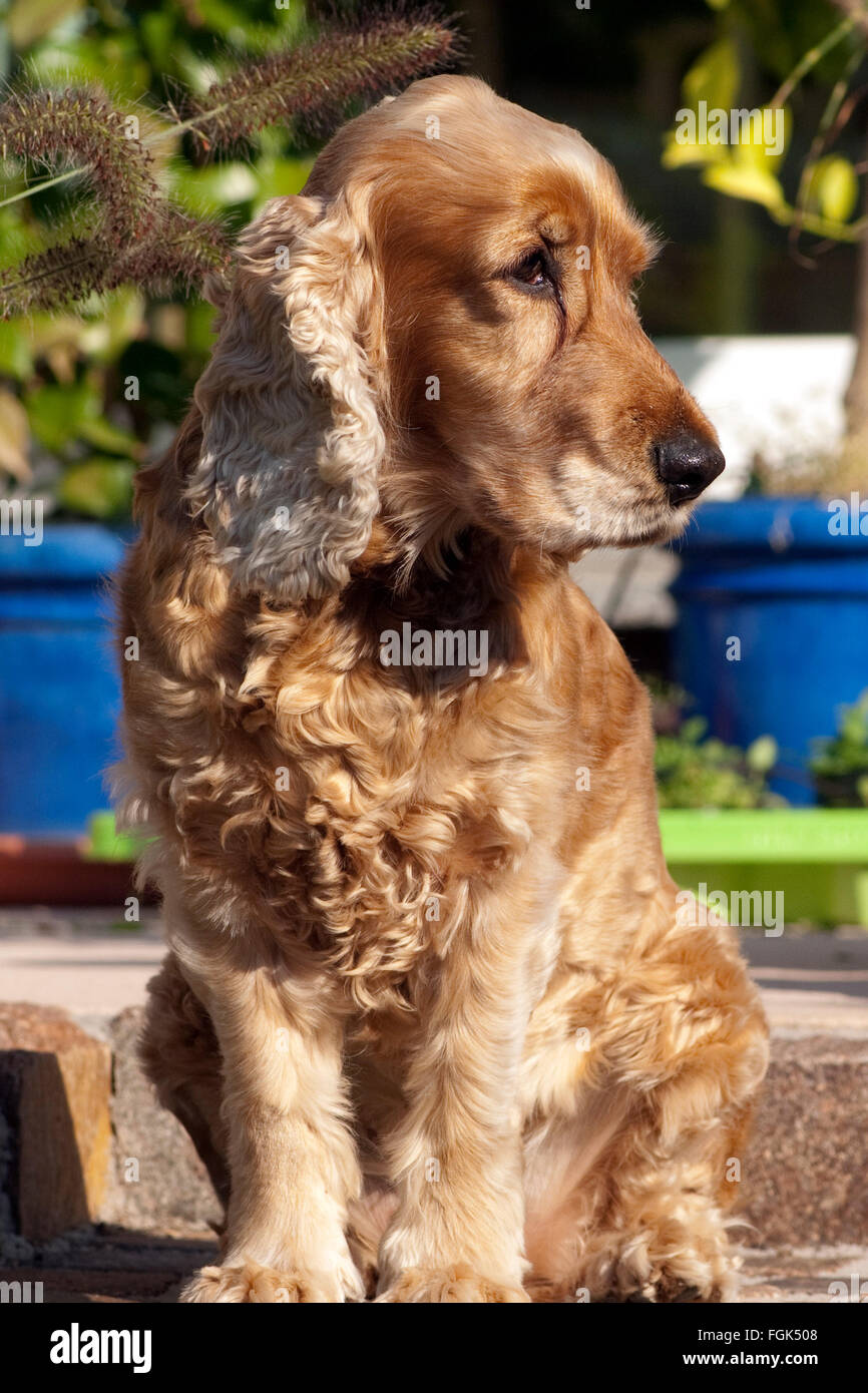 Cocker; Spaniel, muede - Stock Image