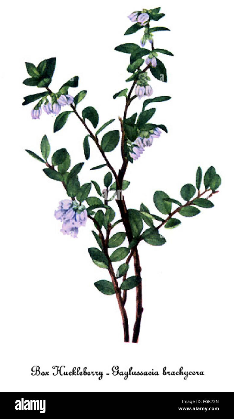 Gaylussacia brachycera, by Mary Vaux Walcott - Stock Image