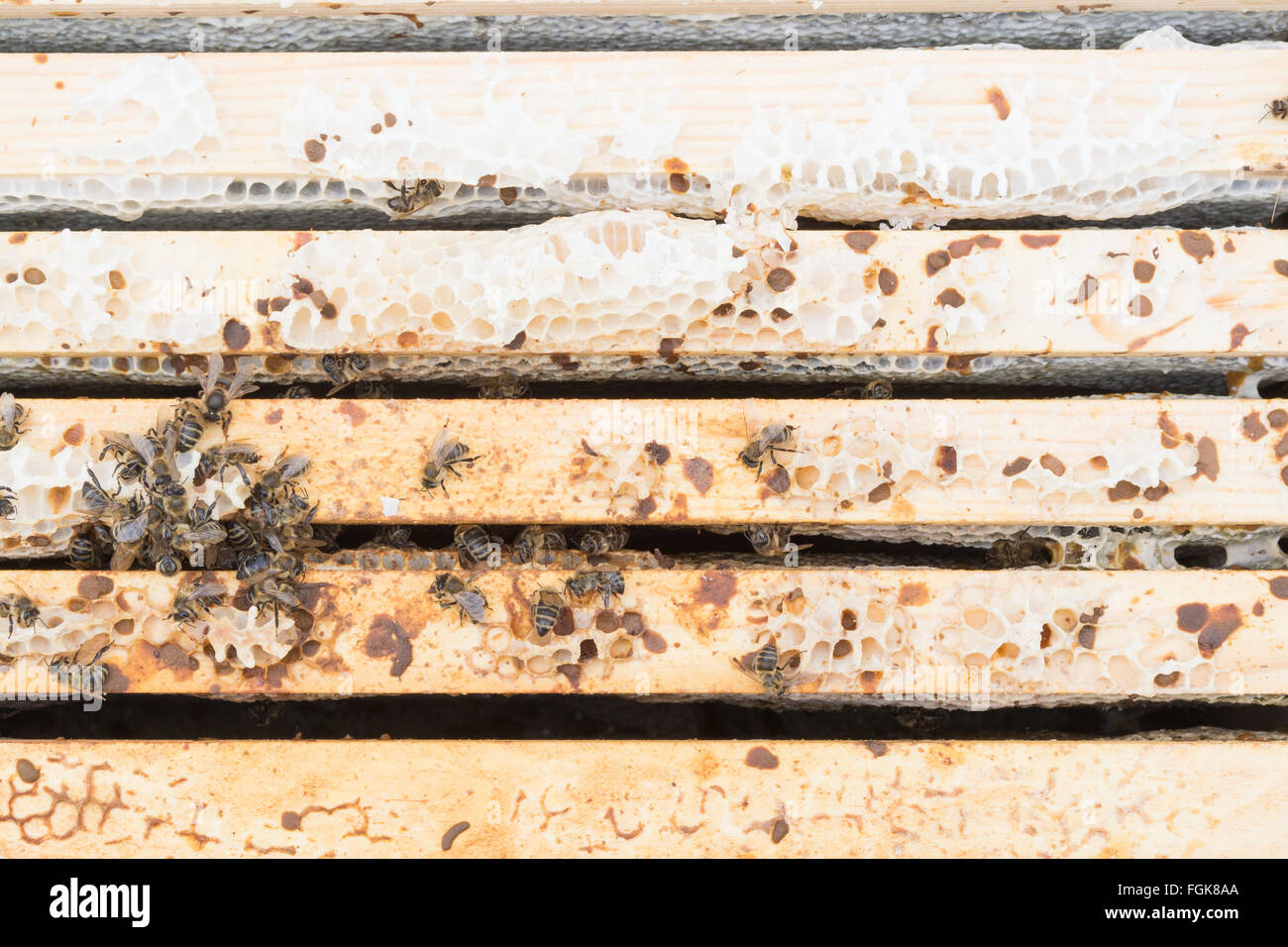 Dead honeybee colony inside beehive where rain water has penetrated the hive (the frames that are a darker colour - Stock Image