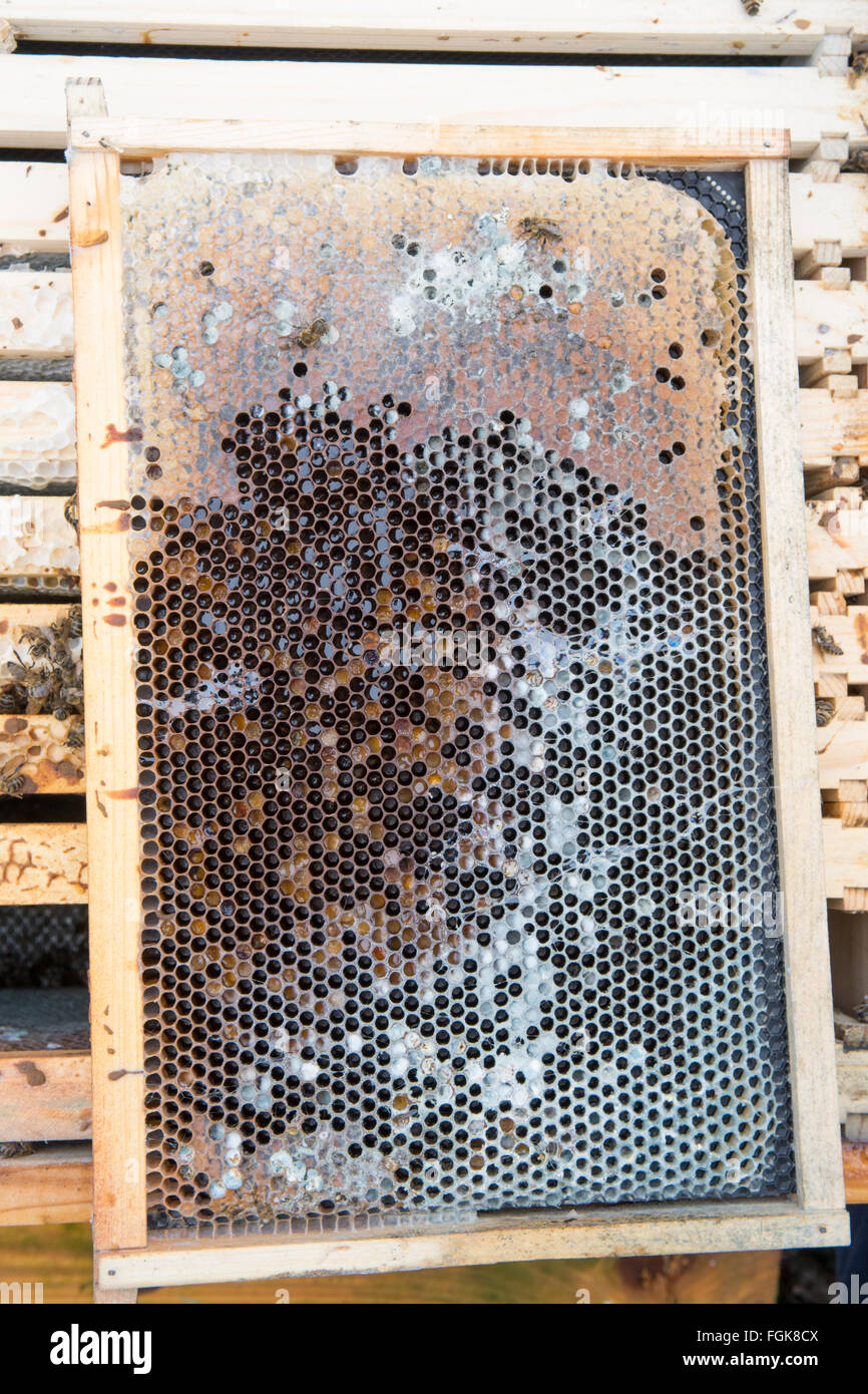 beehive frame from dead honeybee colony inside beehive where rain water has penetrated the hive during winter - Stock Image