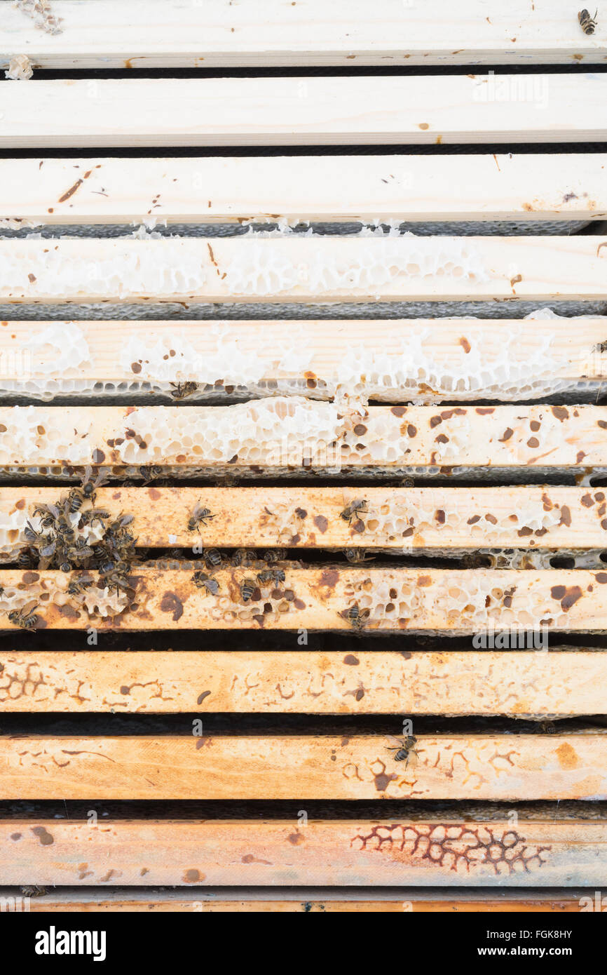 Dead honeybee colony inside beehive where rain water has penetrated the hive (the frames that are a darker colour Stock Photo