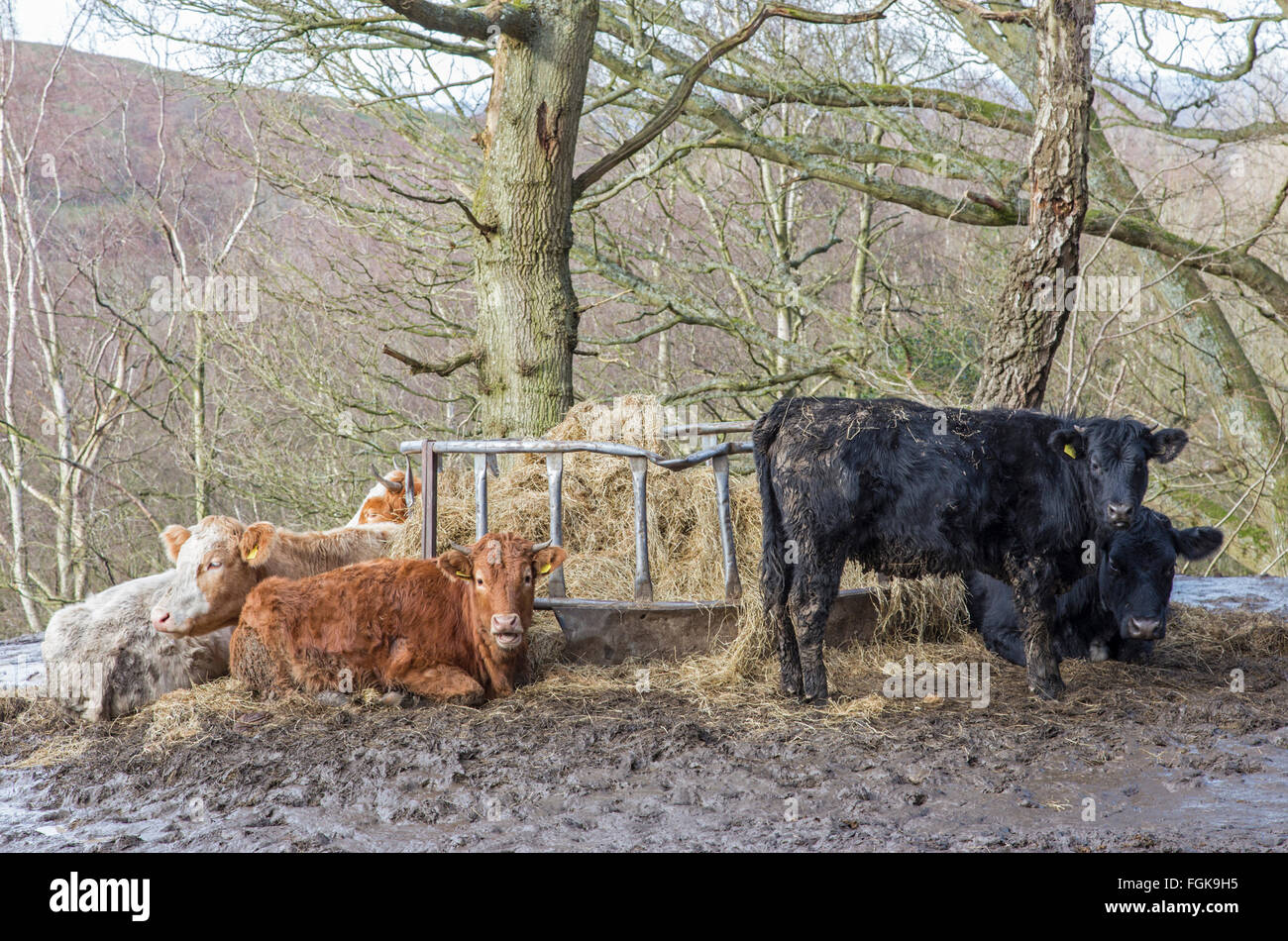watch cow made youtube hay of feeder in panels goats a feeding homemade cattle the