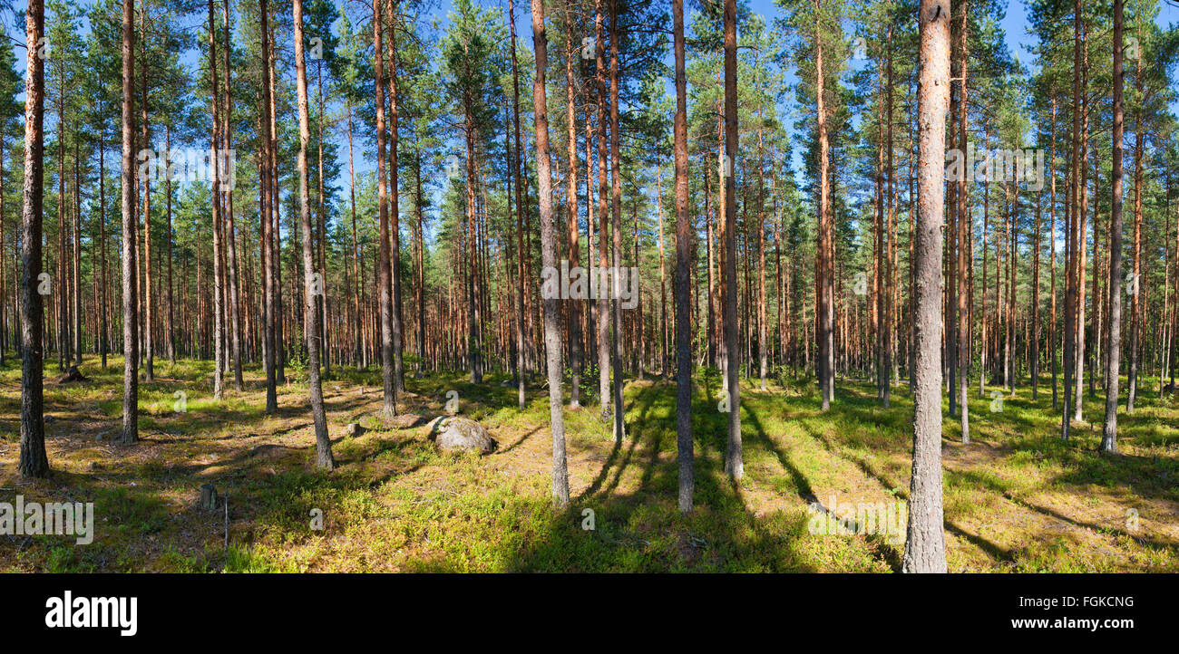 The pine forest in Finland in the summer - Stock Image