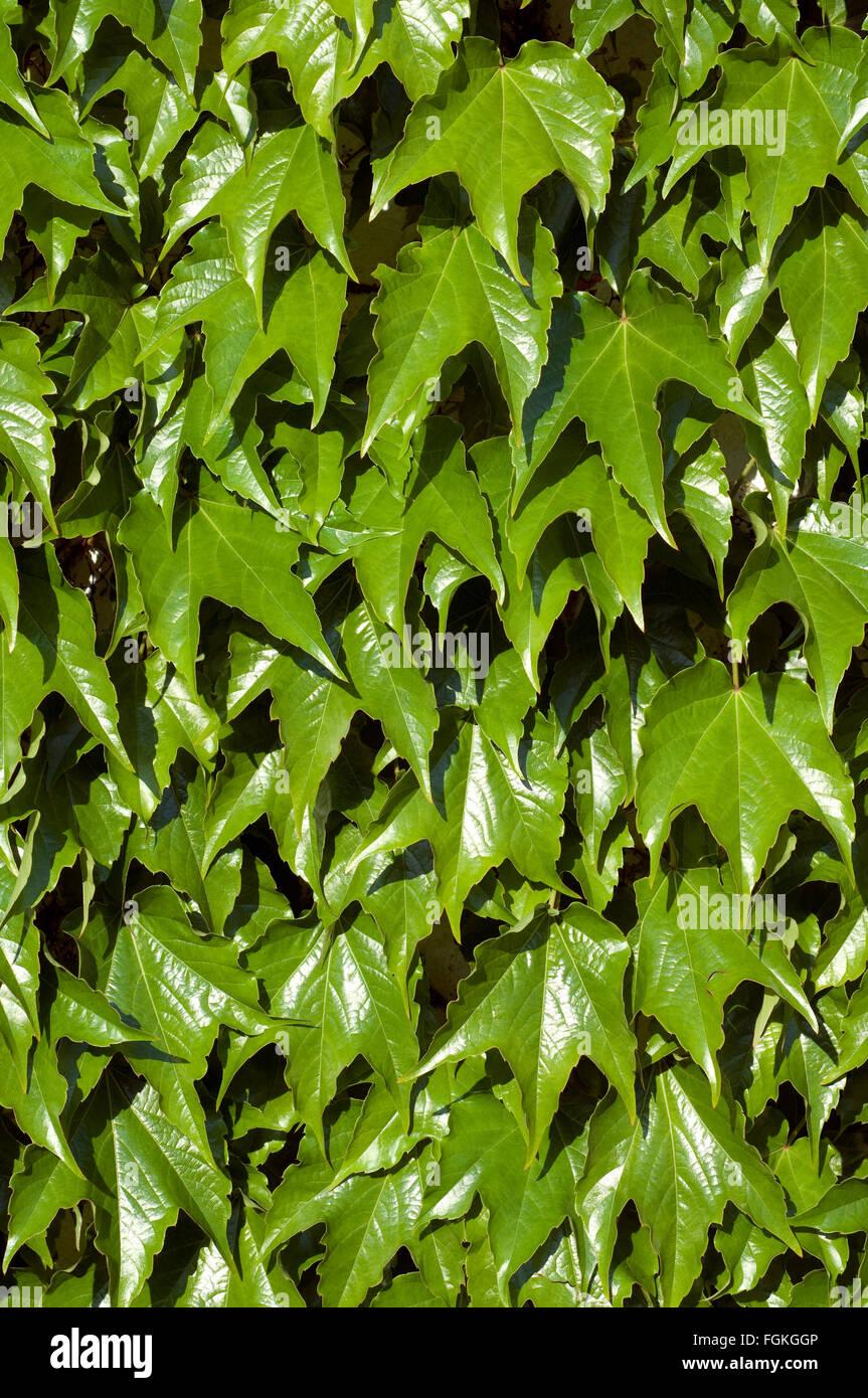 Wilder Wein; Parthenocissus quinquefolia Stock Photo